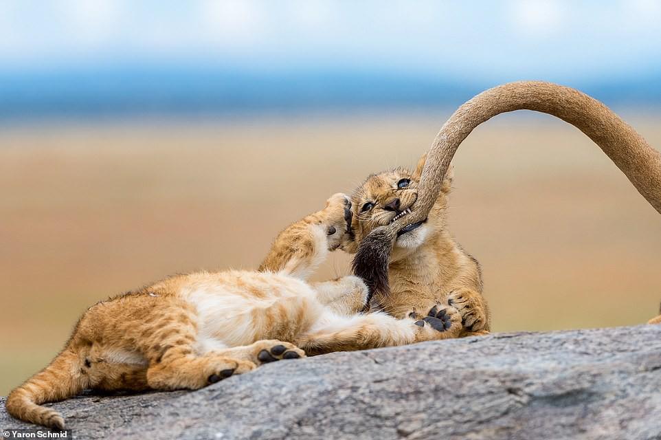 Ảnh hiếm về sư tử châu Phi trước bờ vực tuyệt chủng Ảnh 6