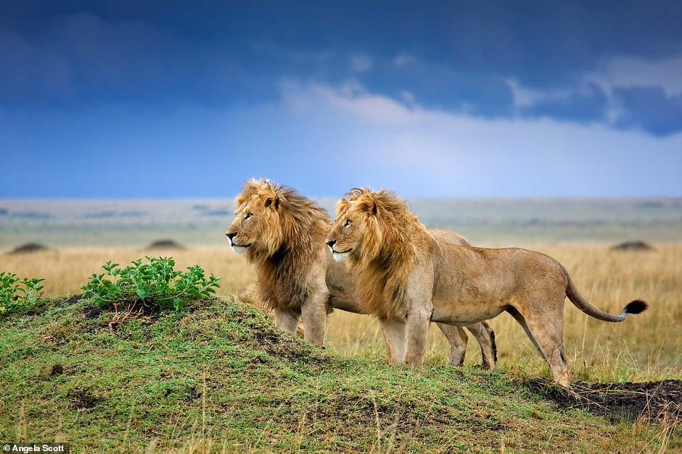 Ảnh hiếm về sư tử châu Phi trước bờ vực tuyệt chủng Ảnh 3