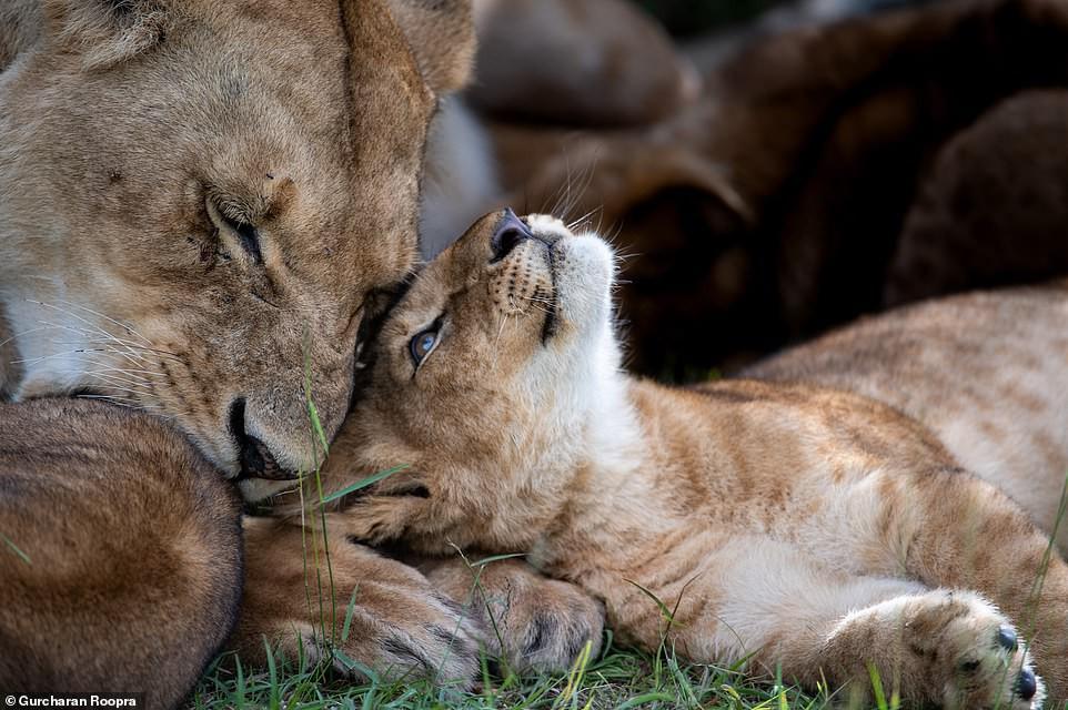 Ảnh hiếm về sư tử châu Phi trước bờ vực tuyệt chủng Ảnh 8