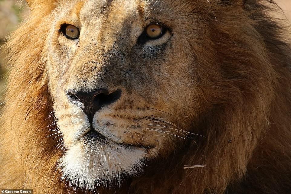 Ảnh hiếm về sư tử châu Phi trước bờ vực tuyệt chủng Ảnh 10