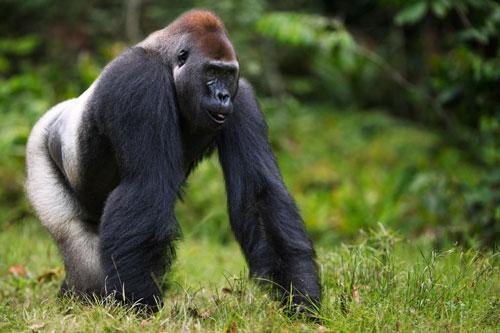 Top 10 động vật có nguy cơ biến mất mãi mãi Ảnh 7
