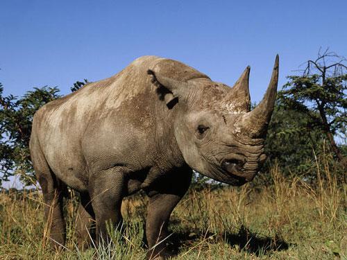 Top 10 động vật có nguy cơ biến mất mãi mãi Ảnh 8