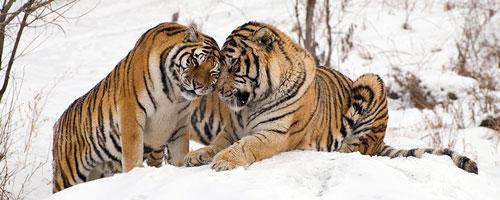 Top 10 động vật có nguy cơ biến mất mãi mãi Ảnh 4
