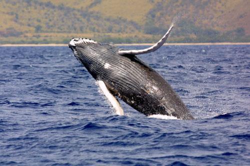 Top 10 động vật có nguy cơ biến mất mãi mãi Ảnh 9
