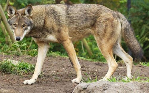 Top 10 động vật có nguy cơ biến mất mãi mãi Ảnh 3