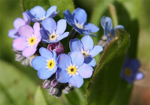Nàng trồng hoa 'Xin đừng quên em' mong tình yêu chung thủy Ảnh 1