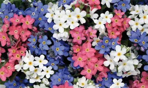 Nàng trồng hoa 'Xin đừng quên em' mong tình yêu chung thủy Ảnh 2