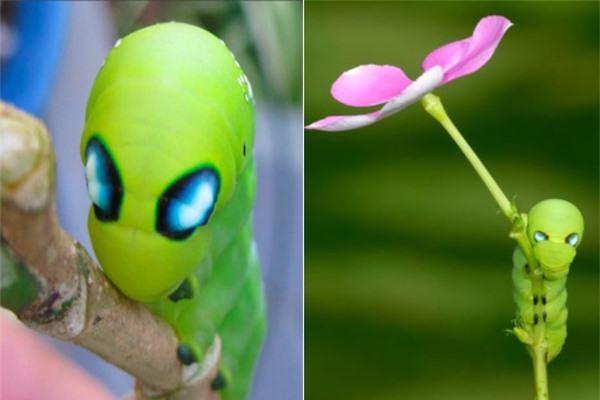 Ngỡ ngàng trước loài sâu bướm 'hóa trang' giống hệt siêu anh hùng Ảnh 4