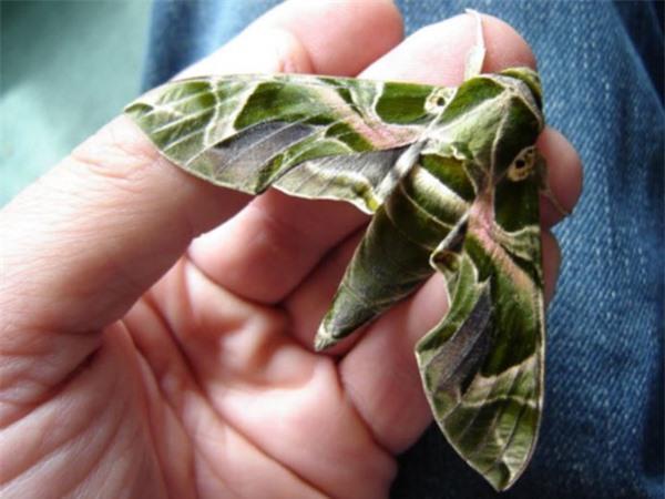 Ngỡ ngàng trước loài sâu bướm 'hóa trang' giống hệt siêu anh hùng Ảnh 6
