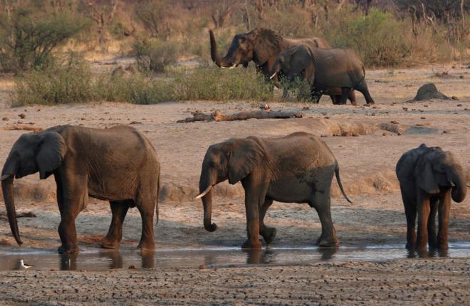 Hàng chục con voi ở Zimbabwe chết bất thường, nghi do nhiễm vi khuẩn Ảnh 1