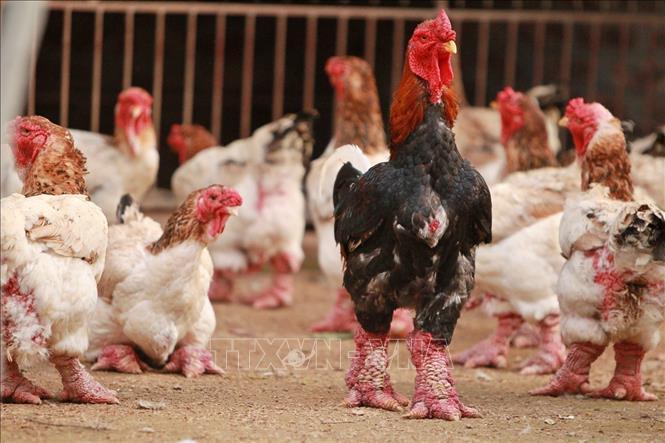 Nhân rộng mô hình nuôi gà Đông Tảo lai an toàn sinh học Ảnh 1