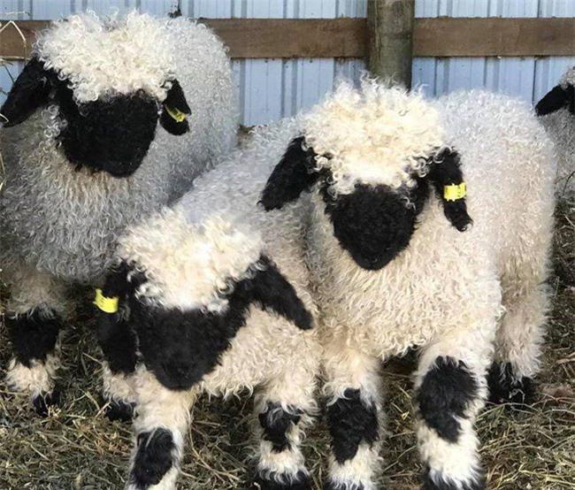 Những chú cừu trông không khác gì thú nhồi bông và nhân vật hoạt hình nhưng lại có thật khiến ai ai cũng muốn cưng nựng Ảnh 1