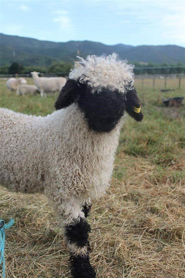 Những chú cừu trông không khác gì thú nhồi bông và nhân vật hoạt hình nhưng lại có thật khiến ai ai cũng muốn cưng nựng Ảnh 2