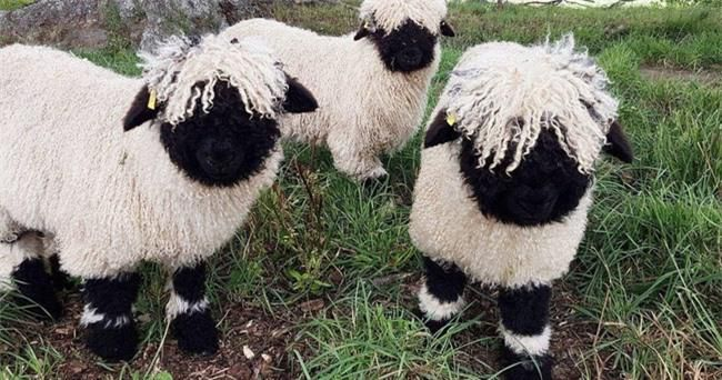 Những chú cừu trông không khác gì thú nhồi bông và nhân vật hoạt hình nhưng lại có thật khiến ai ai cũng muốn cưng nựng Ảnh 3