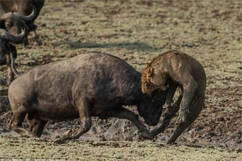 Trâu rừng húc sư tử đòn chí mạng: Cái kết sốc Ảnh 4