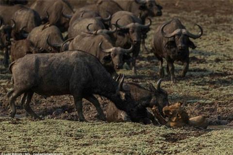 Trâu rừng húc sư tử đòn chí mạng: Cái kết sốc Ảnh 5