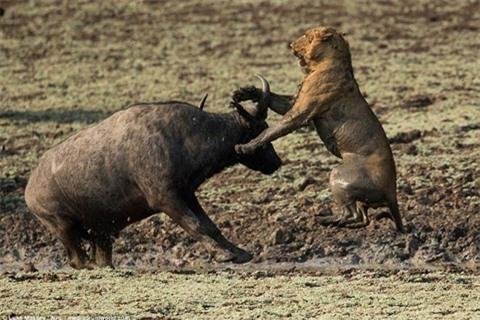Trâu rừng húc sư tử đòn chí mạng: Cái kết sốc Ảnh 2