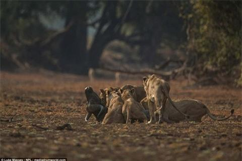 Trâu rừng húc sư tử đòn chí mạng: Cái kết sốc Ảnh 7