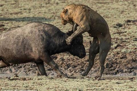 Trâu rừng húc sư tử đòn chí mạng: Cái kết sốc Ảnh 3