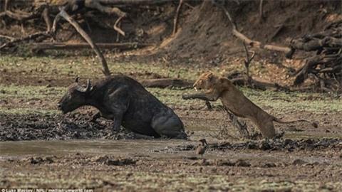 Trâu rừng húc sư tử đòn chí mạng: Cái kết sốc Ảnh 1