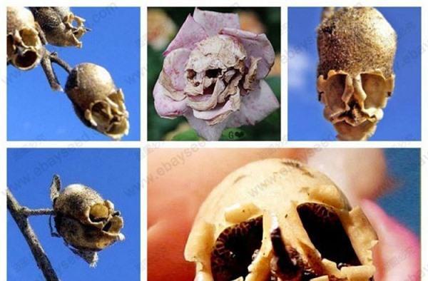 Giải mã loài hoa tuyệt đẹp 'hóa sọ người' ghê rợn khi tàn Ảnh 1