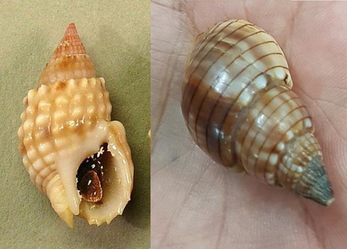 Xác định loại ốc lạ gây ngộ độc khiến 3 người thương vong ở Khánh Hòa Ảnh 2