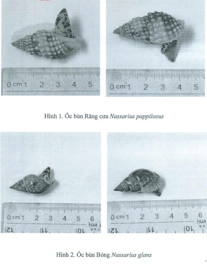 Xác định loại ốc lạ gây ngộ độc khiến 3 người thương vong ở Khánh Hòa Ảnh 3