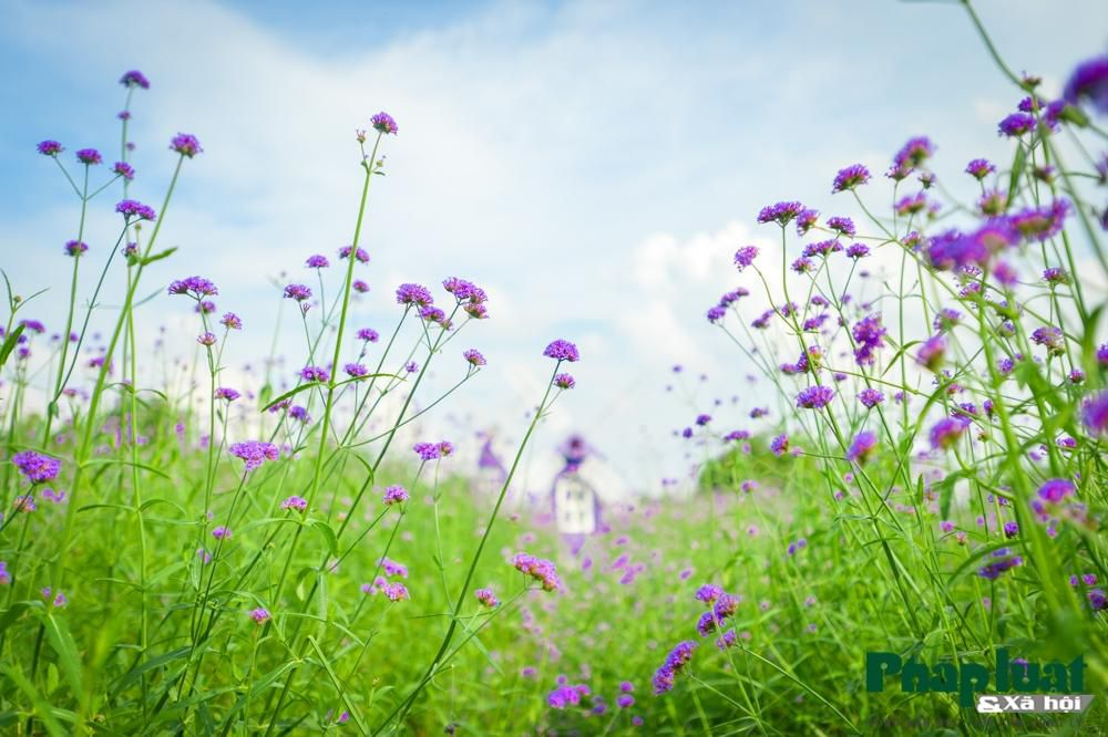 Mê mẩn với vườn oải hương thảo tím biếc giữa lòng Hà Nội Ảnh 5
