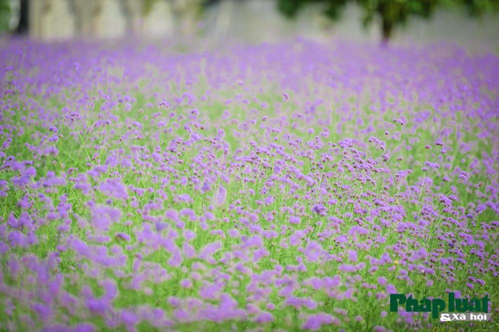 Mê mẩn với vườn oải hương thảo tím biếc giữa lòng Hà Nội Ảnh 6