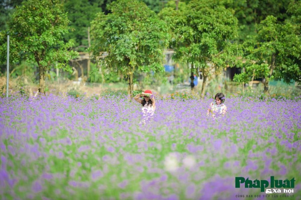 Mê mẩn với vườn oải hương thảo tím biếc giữa lòng Hà Nội Ảnh 8