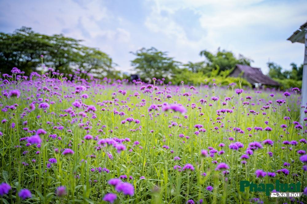 Mê mẩn với vườn oải hương thảo tím biếc giữa lòng Hà Nội Ảnh 3