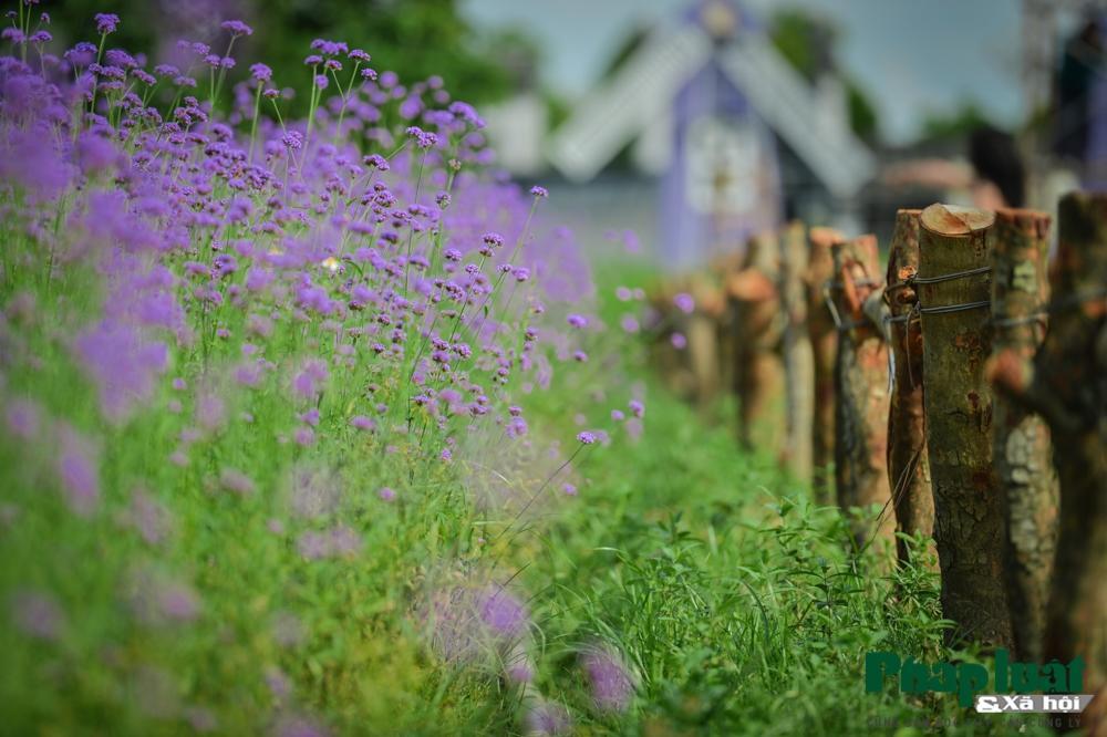 Mê mẩn với vườn oải hương thảo tím biếc giữa lòng Hà Nội Ảnh 10