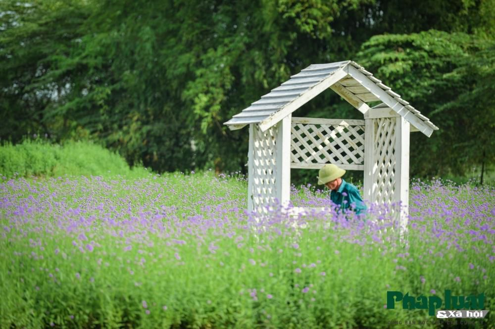 Mê mẩn với vườn oải hương thảo tím biếc giữa lòng Hà Nội Ảnh 7