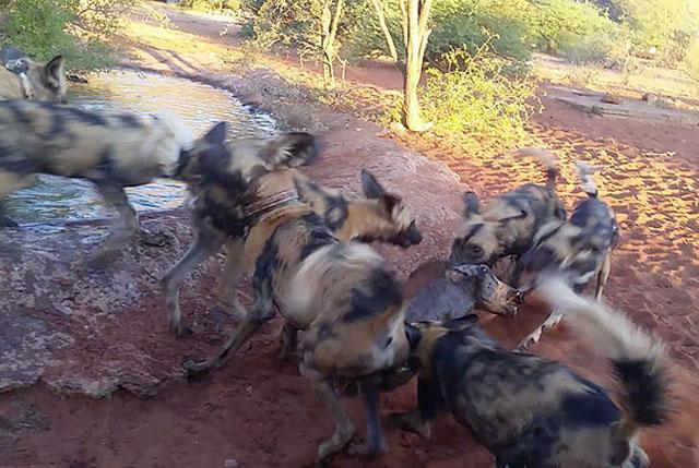 Đang tắm mát, lợn bướu bỗng bị chó hoang bao vây rồi đoạt mạng trong chớp mắt Ảnh 4