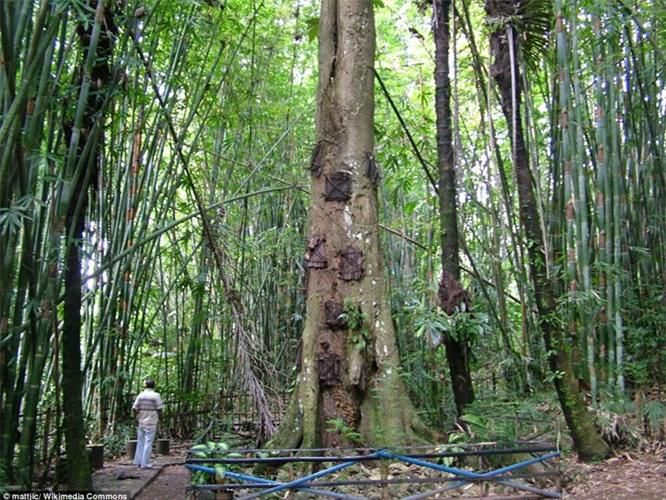 Kỳ lạ nghi lễ chôn cất hài nhi trong thân cây ở Indonesia Ảnh 1