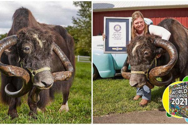 Choáng với sừng bò Tây Tạng dài nhất thế giới Ảnh 1