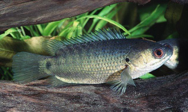 Australia 'rúng động' vì cá rô sát thủ biết trèo cây, 'đi bộ' Ảnh 1