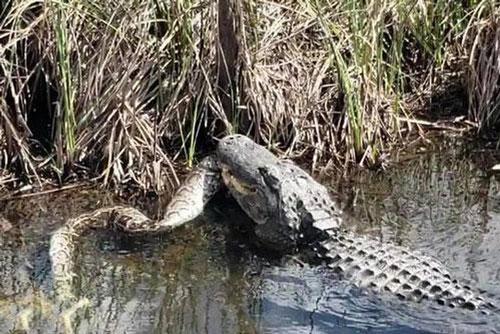 Kinh ngạc cá sấu lớn xé xác trăn khổng lồ Ảnh 1