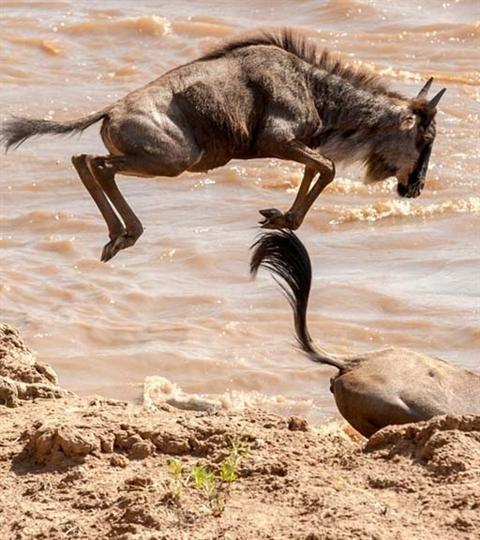 Ngựa vằn cứu linh dương đầu bò khỏi hàm cá sấu Ảnh 1