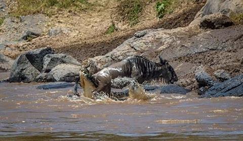 Ngựa vằn cứu linh dương đầu bò khỏi hàm cá sấu Ảnh 3