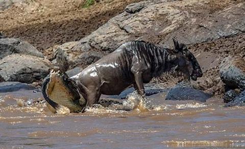 Ngựa vằn cứu linh dương đầu bò khỏi hàm cá sấu Ảnh 2