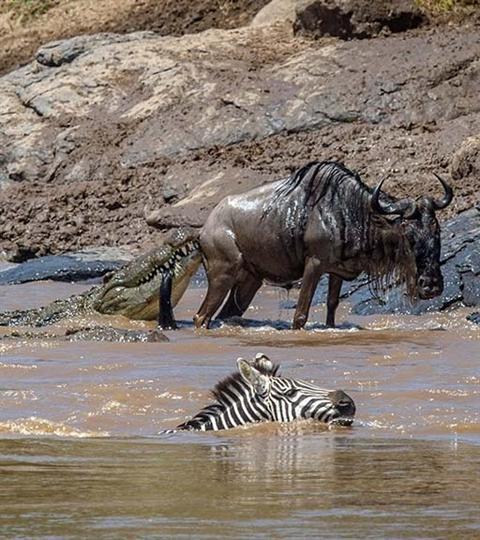 Ngựa vằn cứu linh dương đầu bò khỏi hàm cá sấu Ảnh 5