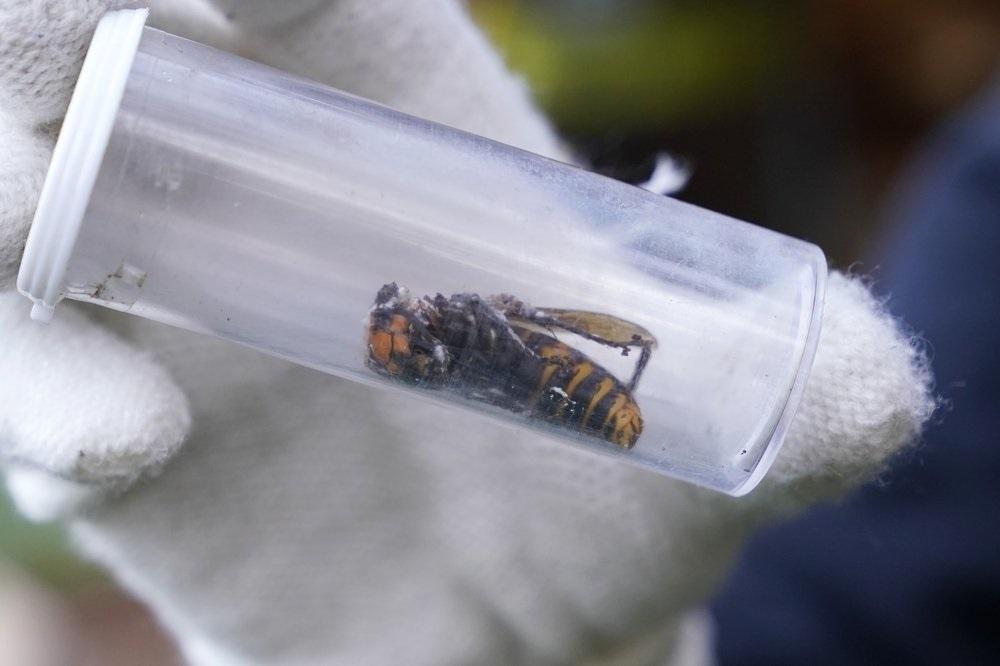Mỹ phá hủy tổ ong vò vẽ châu Á xâm lấn đầu tiên Ảnh 3