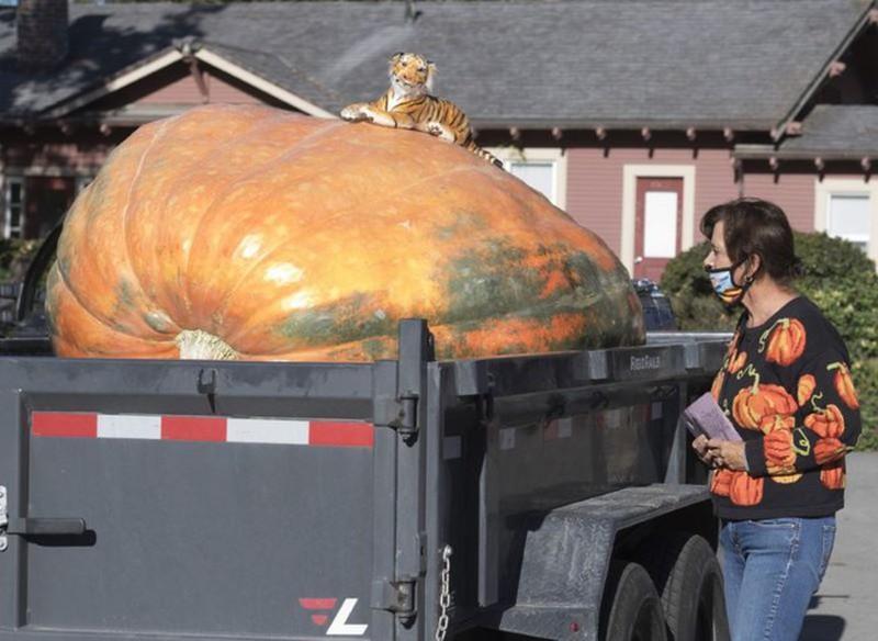 Trồng giống bí ngô 'siêu to khổng lồ', anh nông dân bán 350 ngàn/kg Ảnh 1