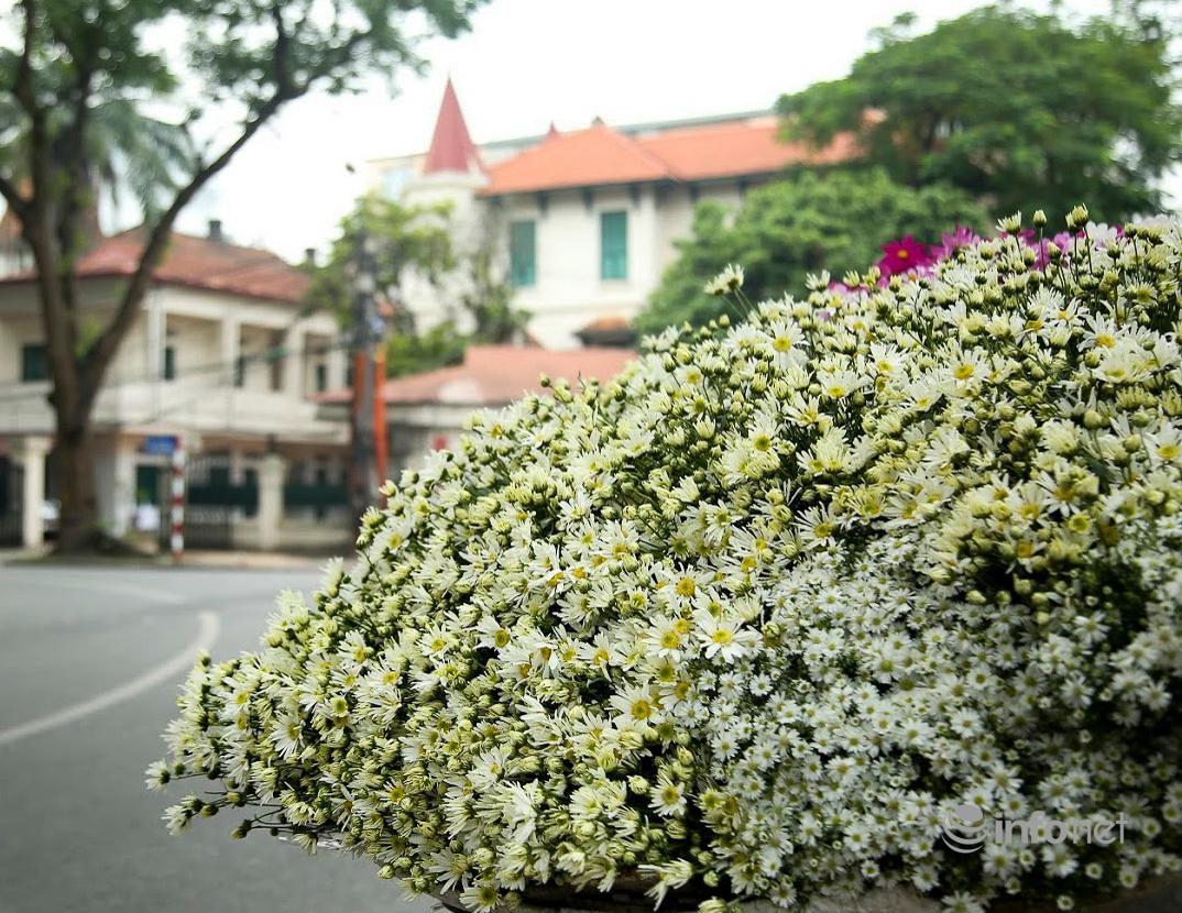 Hà Nội: Cúc họa mi tinh khôi 'xuống phố' đón đông về Ảnh 1