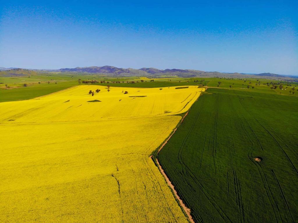 Biển vàng trong mùa cải dầu bội thu ở Australia Ảnh 4