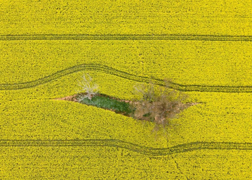 Biển vàng trong mùa cải dầu bội thu ở Australia Ảnh 1