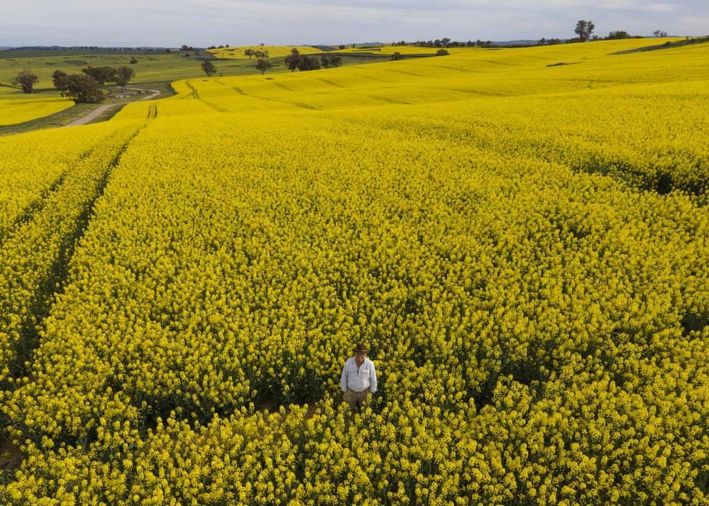 Biển vàng trong mùa cải dầu bội thu ở Australia Ảnh 7