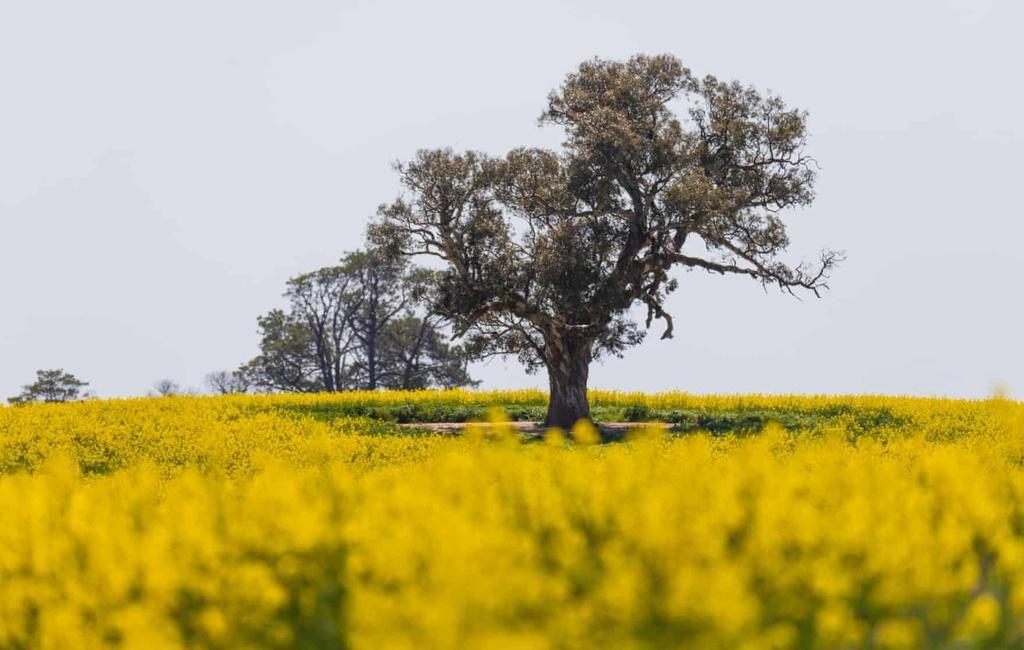 Biển vàng trong mùa cải dầu bội thu ở Australia Ảnh 5