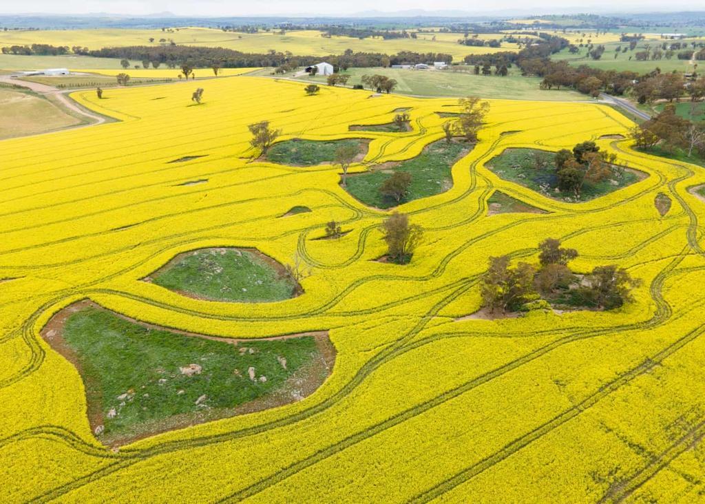 Biển vàng trong mùa cải dầu bội thu ở Australia Ảnh 2